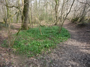 circle of wild garlic